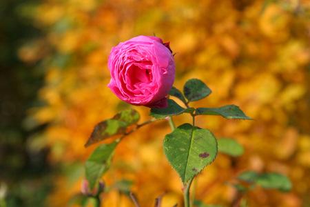 Herbstzeitrose